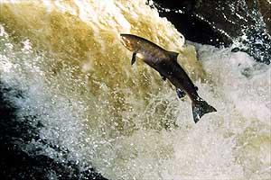 091499sci-animal-salmon.2.jpg